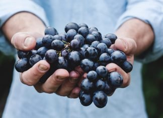 Así se hace la vendimia en la Ribera del Duero: 125 millones de uvas recogidas a mano
