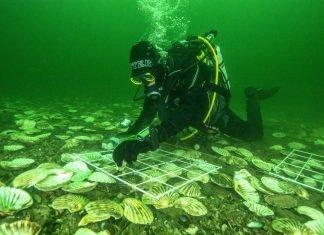 La destilería Glenmorange devuelve 20.000 ostras al mar